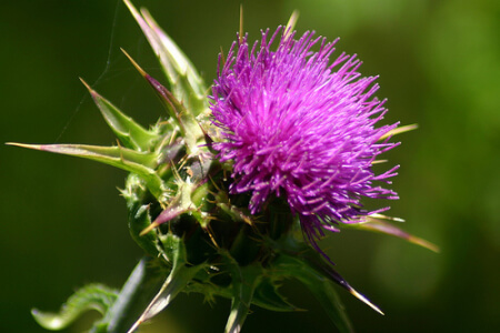 Love thy Liver with Milk Thistle thumbnail